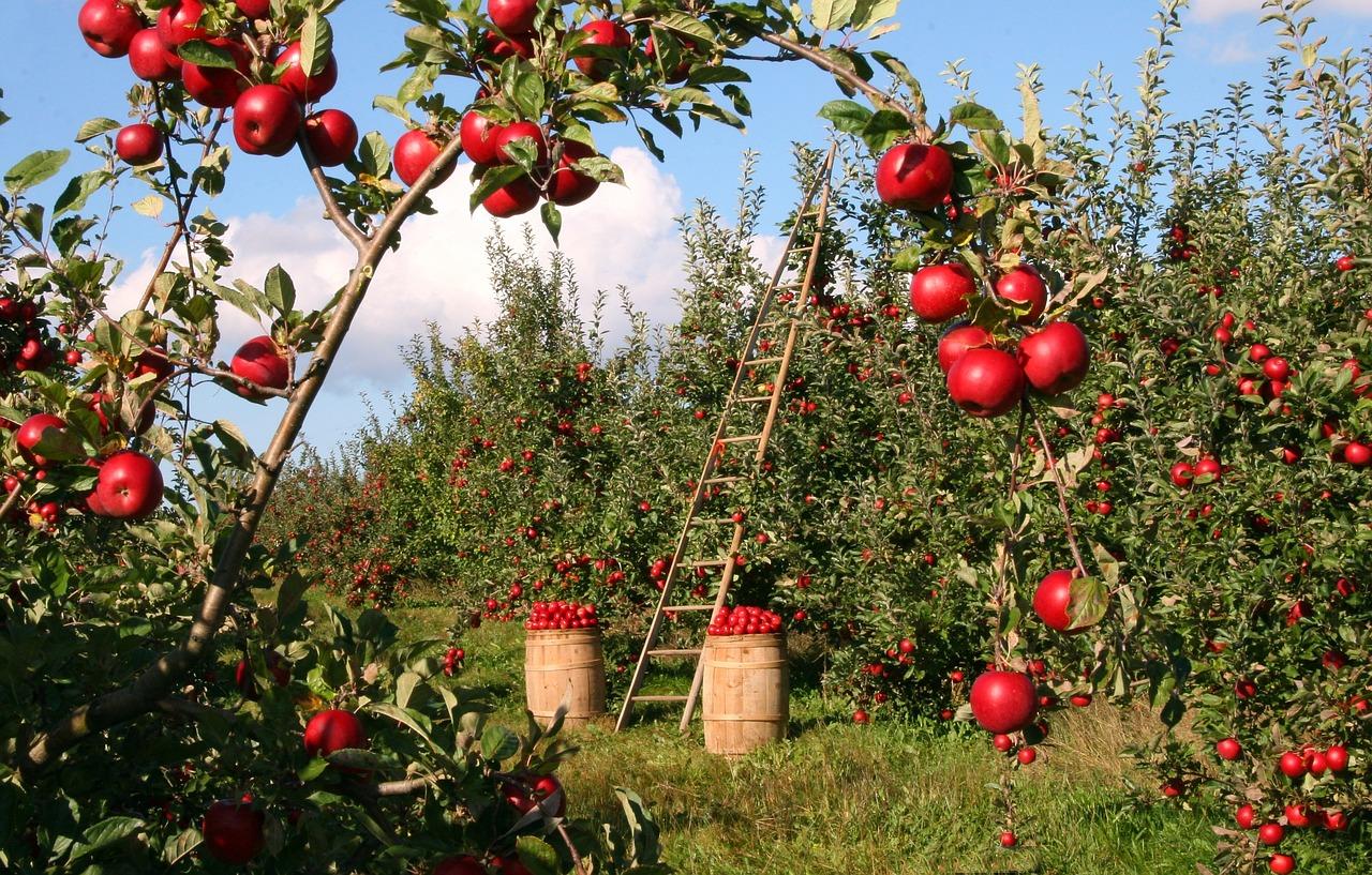 Pre nedostatok pracovnej sily z východnej Európy v Spojenom kráľovstve hnije úroda na poliach